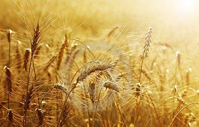 campo-de-trigo-de-oro-15386443